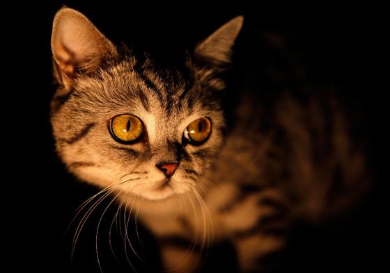 почему у кошек светятся глаза