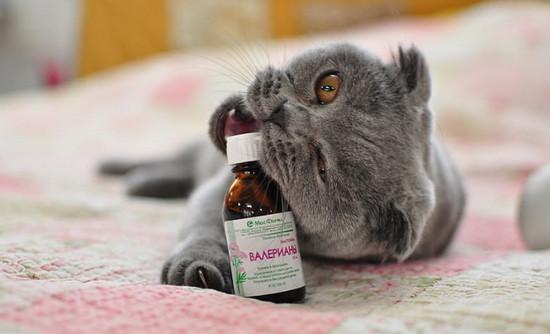 кошки и валерьянка, воздействие валерьянки на кошек