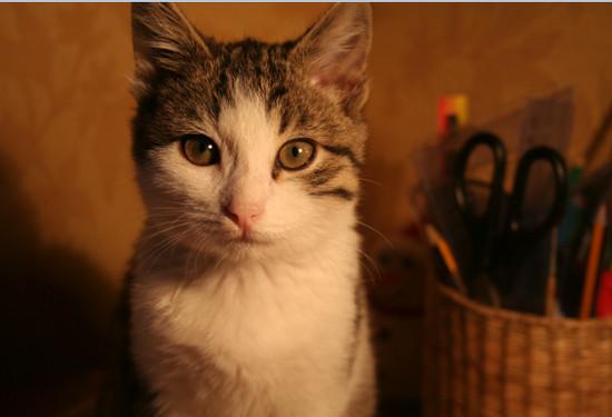 самые умные породы кошек, 10 самых умных пород кошек