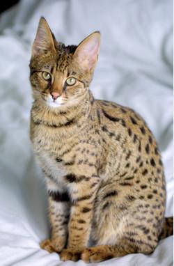 породы крупных кошек с фото