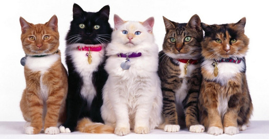 самые популярные породы кошек, какие породы кошек самые популярные