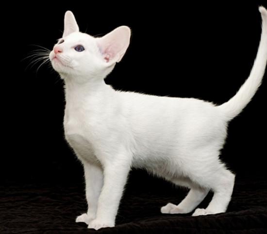 породы белых кошек с фото