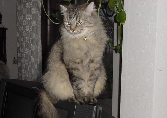русская сибирская порода кошек