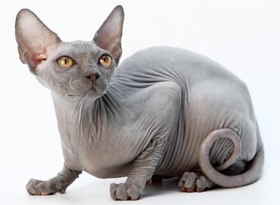 самая дружелюбная порода кошек