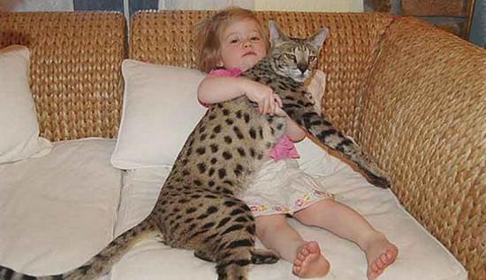 порода самой большой кошки, какая порода кошек самая большая