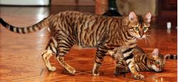 самые необычные названия пород кошек, фотографии