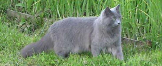 самая красивая порода кошек