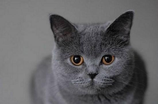 породы короткошерстных кошек, фото