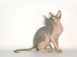 породы лысых кошек, фото