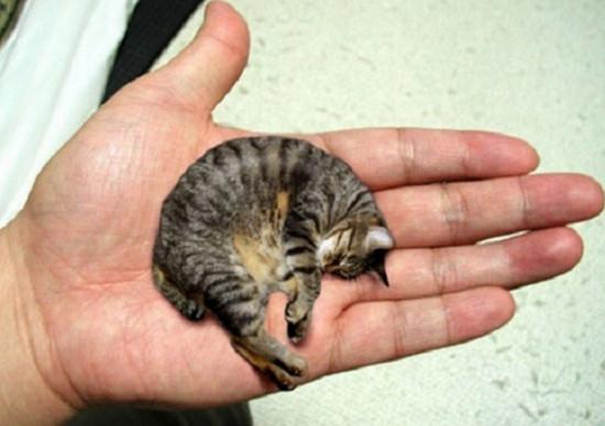 cамая маленькая порода кошек