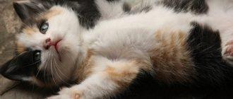 сколько времени кошка вынашивает котят
