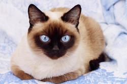 породы кошек с голубыми глазами