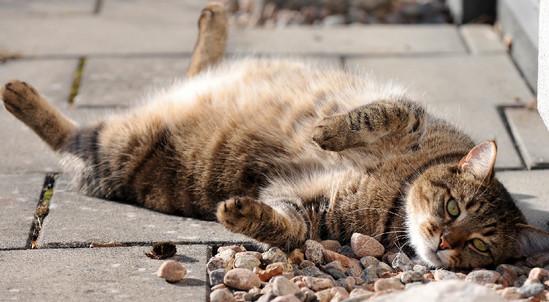 самые послушные породы кошек
