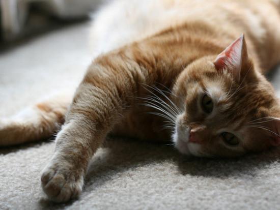 какими кормами лучше кормить кошку