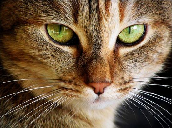 Второе веко у котов