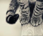 сколько когтей у кошки