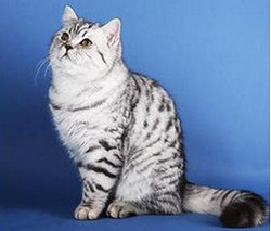 виды шотландских кошек