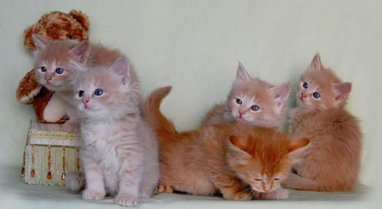 лечение кальцивироза у кошек