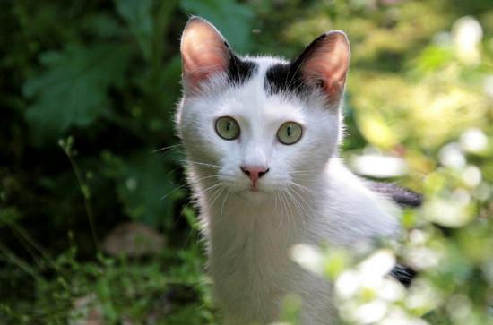лечение печени у кошек