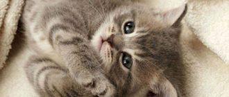 лечение перхоти у кошек