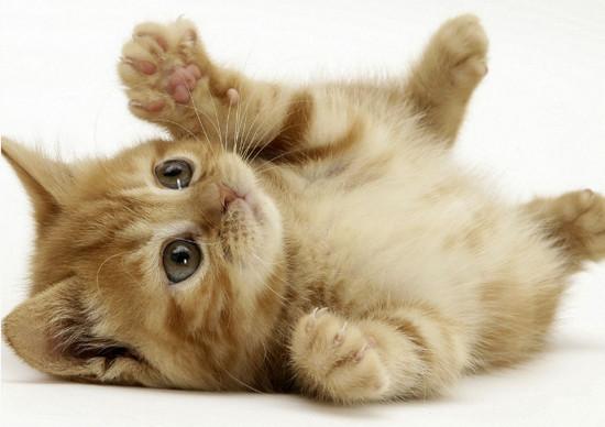 Лечение хламидоза у кошек