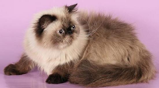 породы длинношерстных кошек, фото