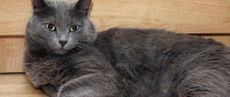 к чему снится серая кошка