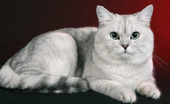виды британских кошек