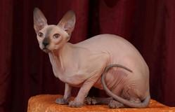 породы гладкошерстных кошек