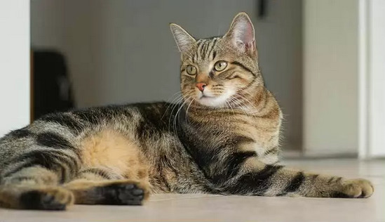 кельтская короткошерстная кошка