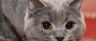 лечение конъюнктивита у кошек