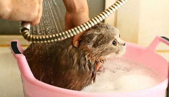 как купать кошку в первый раз