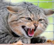 первые признаки бешенство у кошки