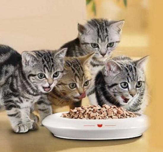 какими продуктами нельзя кормить котят