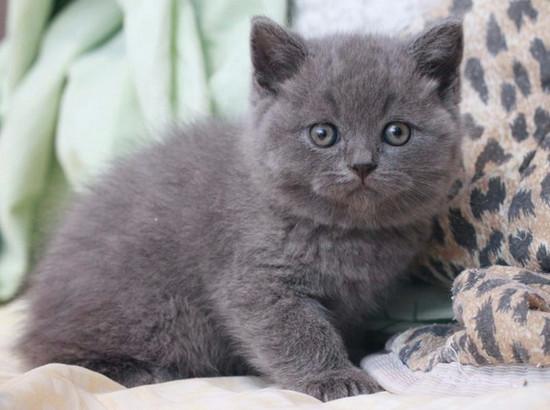 сколько стоит котенок британец