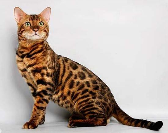 сколько стоит бенгальский котенок