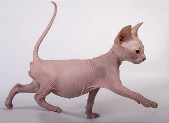 сколько стоит котенок сфинкса