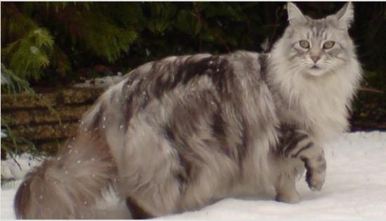 сколько стоит котенок породы мей-кун
