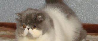 сколько стоит персидский котенок