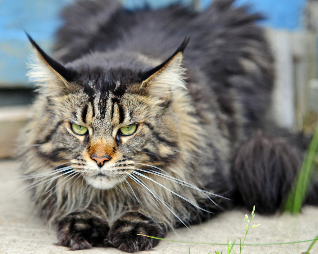 Мейн кун Геркулес среди котов