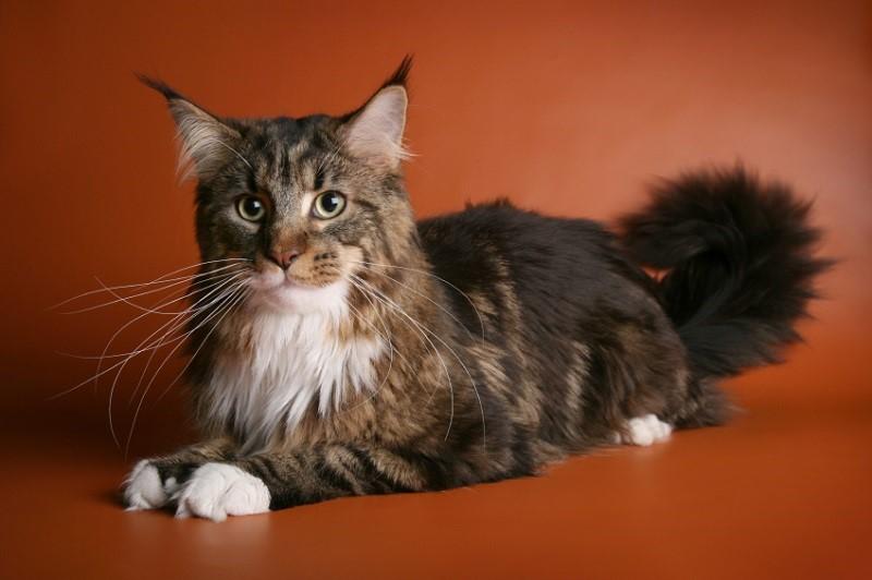 Мейн кун - самая крупная порода кошачьих
