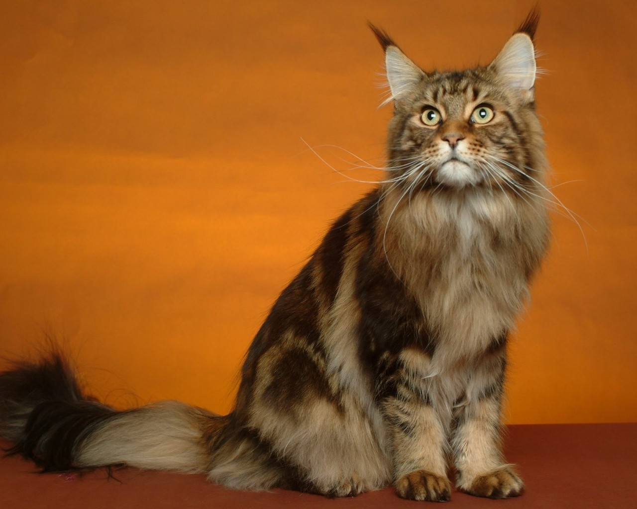 Мейн кун - дикая и домашняя кошка