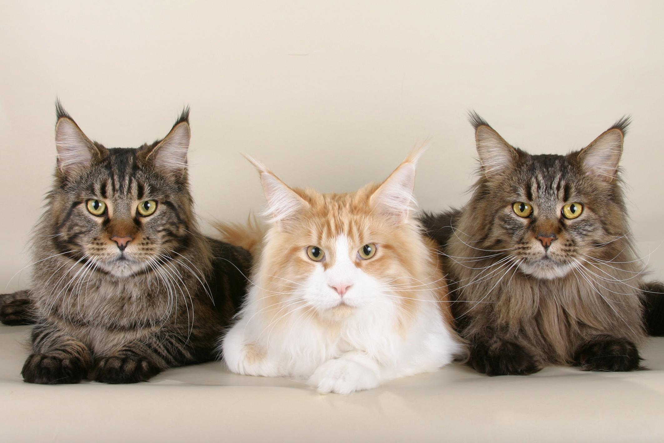 Геркулес среди котов