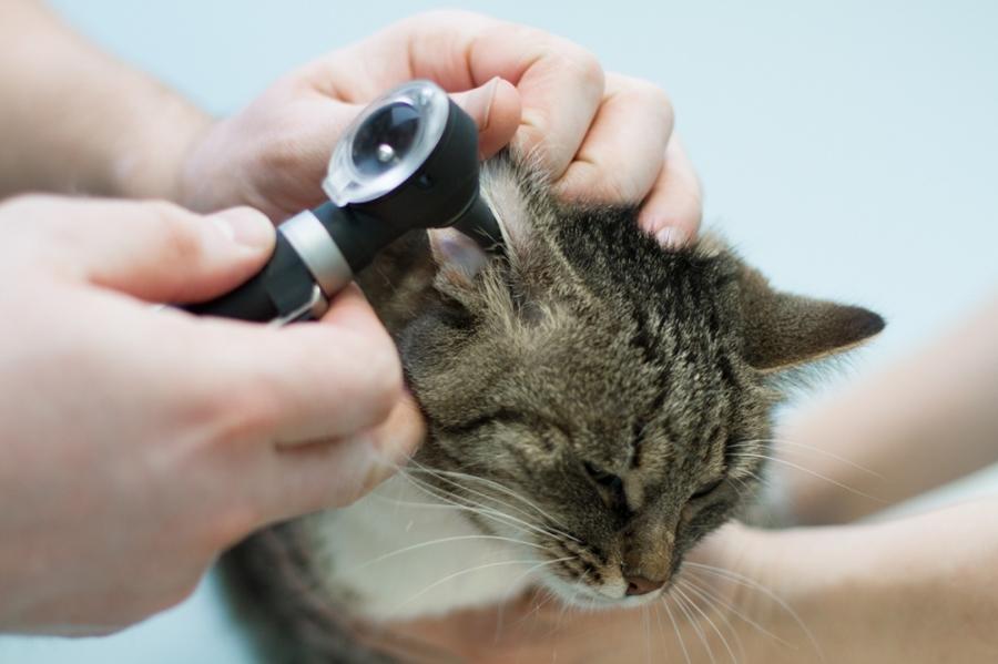 У кота чешется ухо чем лечить