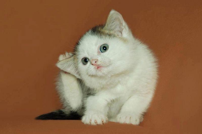 У кошки чешутся уши что делать