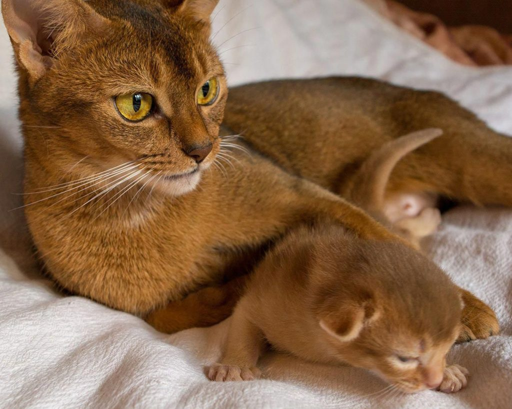 Разведение кошек. Абиссинская порода
