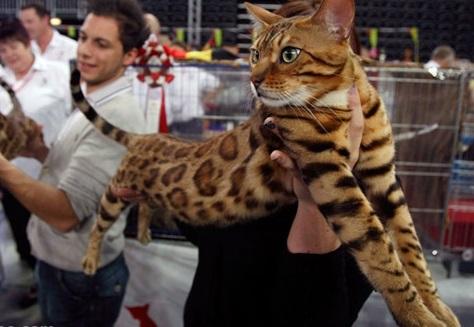 породы кошек для разведения