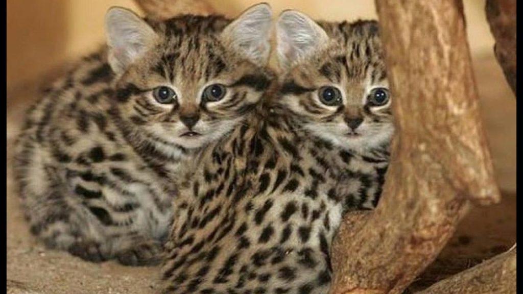 Племенные котята